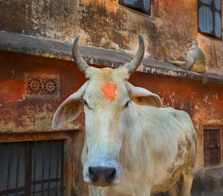 Bull cow with religious markings