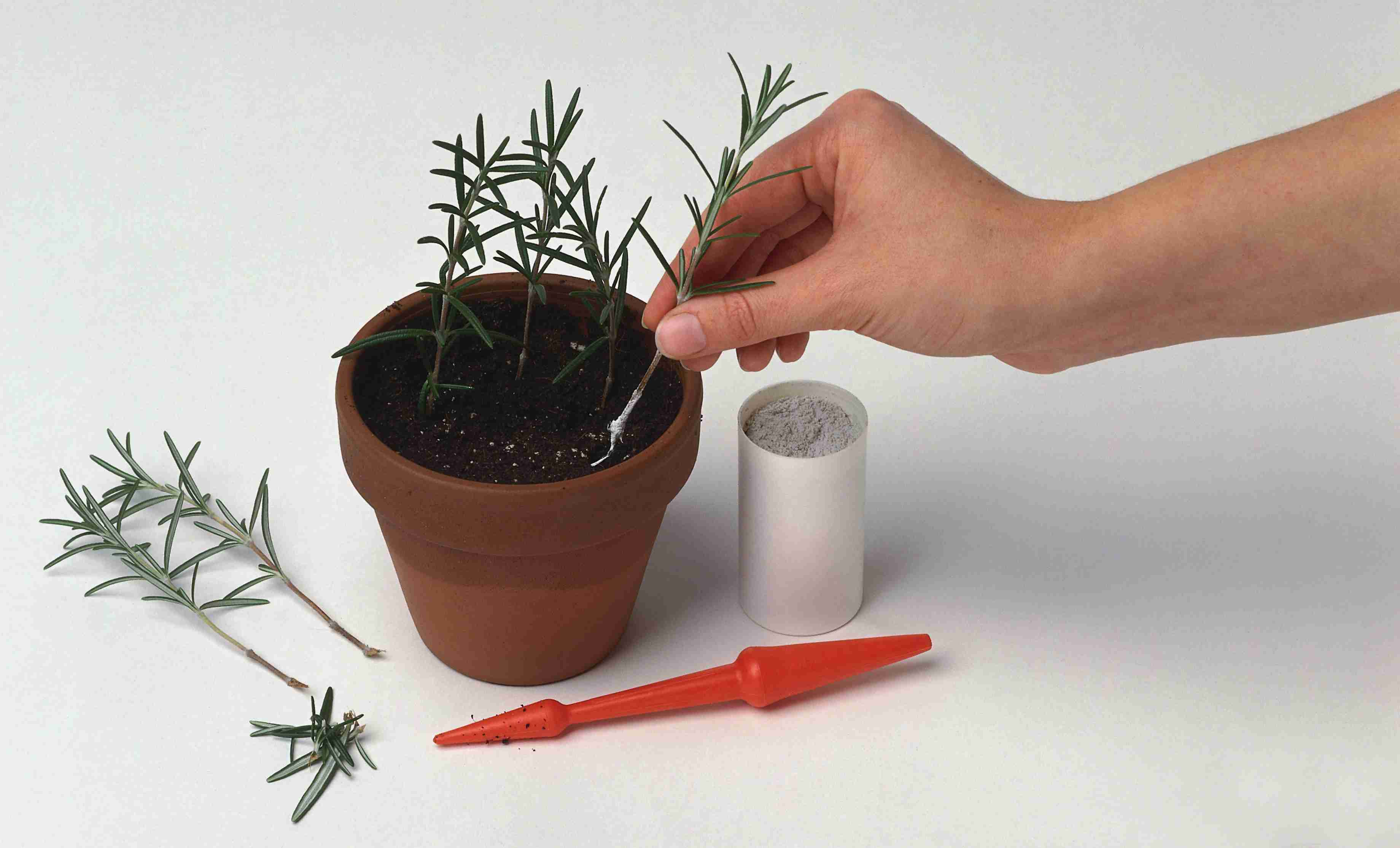 Hormone rooting powder tells plant tissue to grow roots.