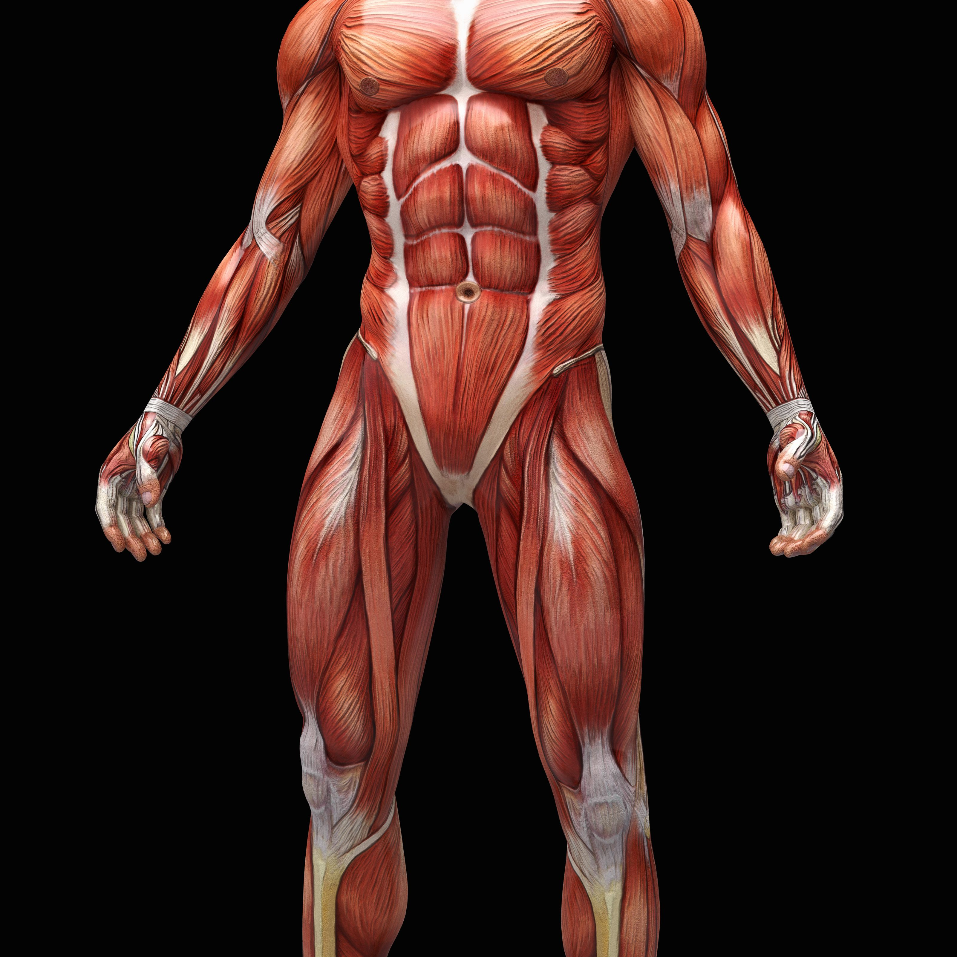biggest muscles in the human body - HD3203×3203