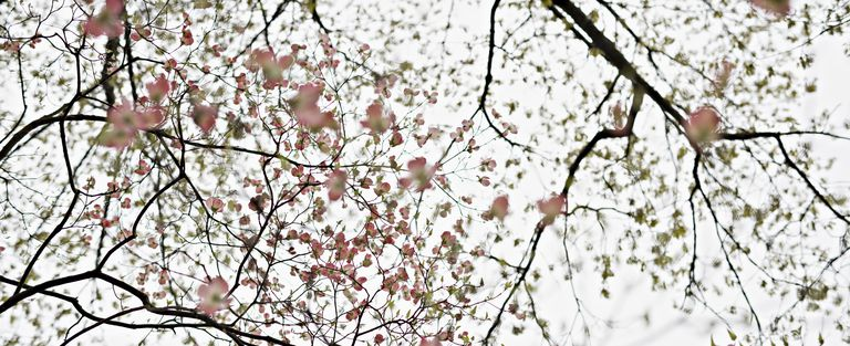 usa spring dogwood trees blossoms