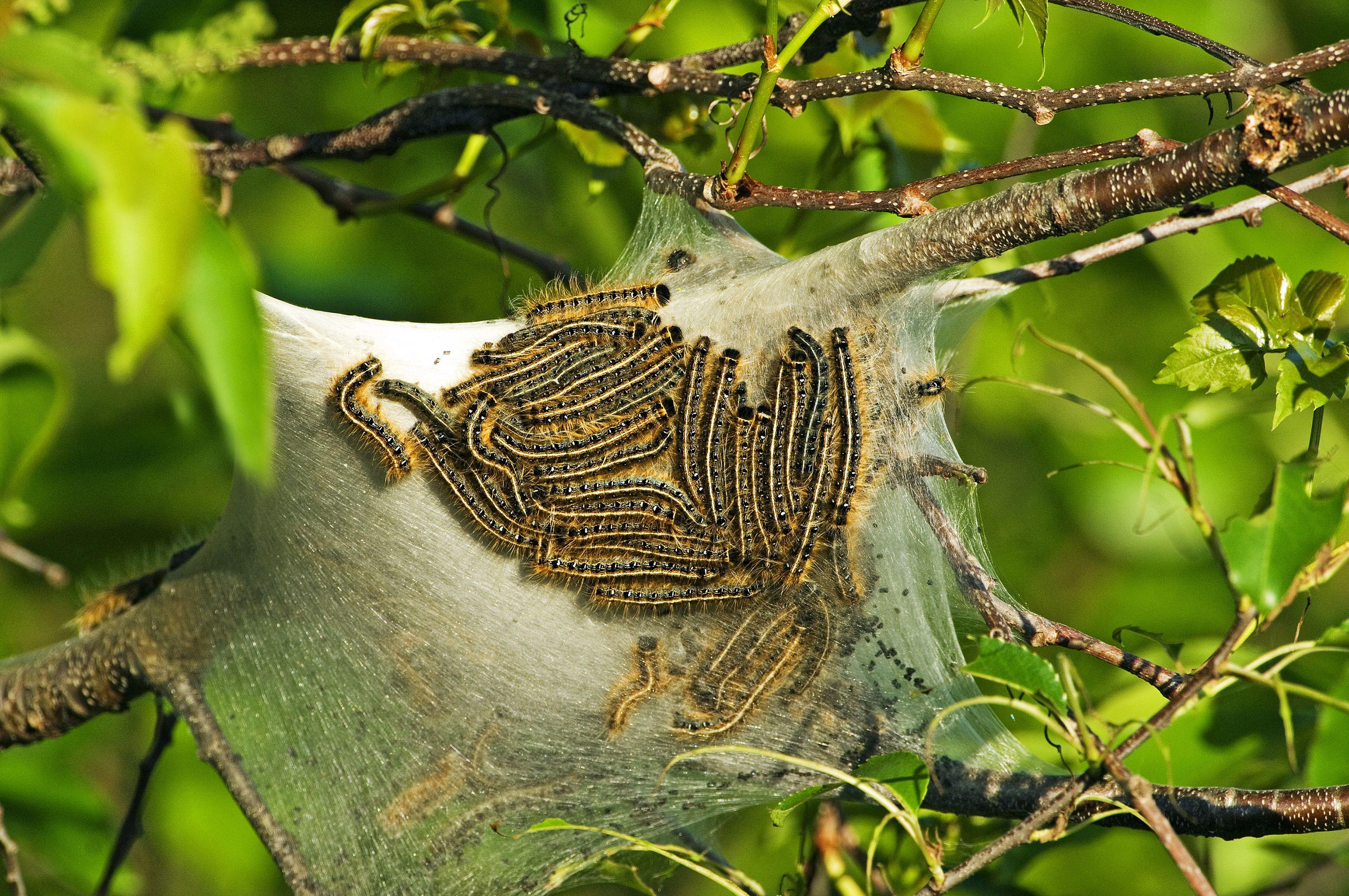 Eastern tent caterpillars on silk tent.