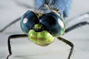 Dragonfly face close-up.