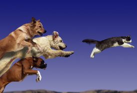 Dogs chasing cat