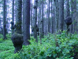 Forest full of trees with burls on them.