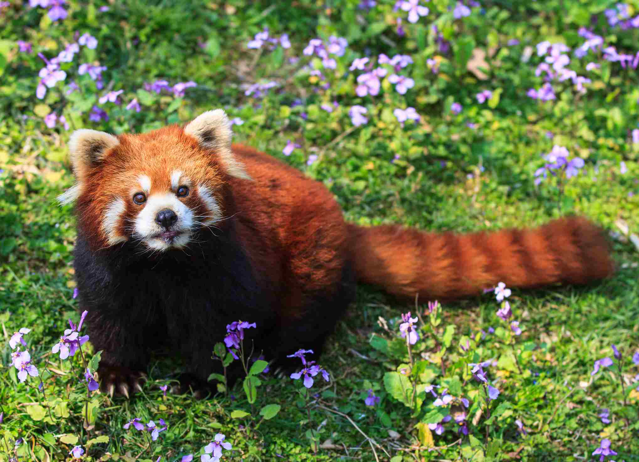 A red panda has reddish fur, a masked face, and a banded tail.