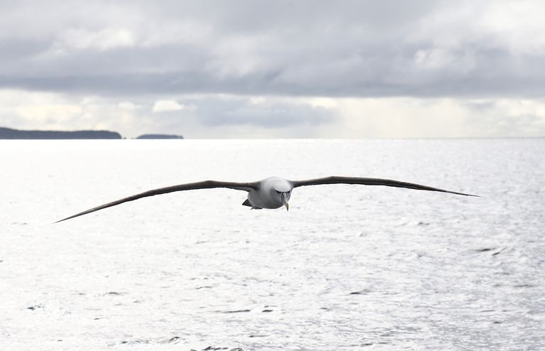 A mollymawk, a type of albatross, in flight
