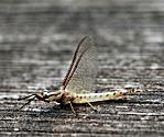 Order Ephemeroptera