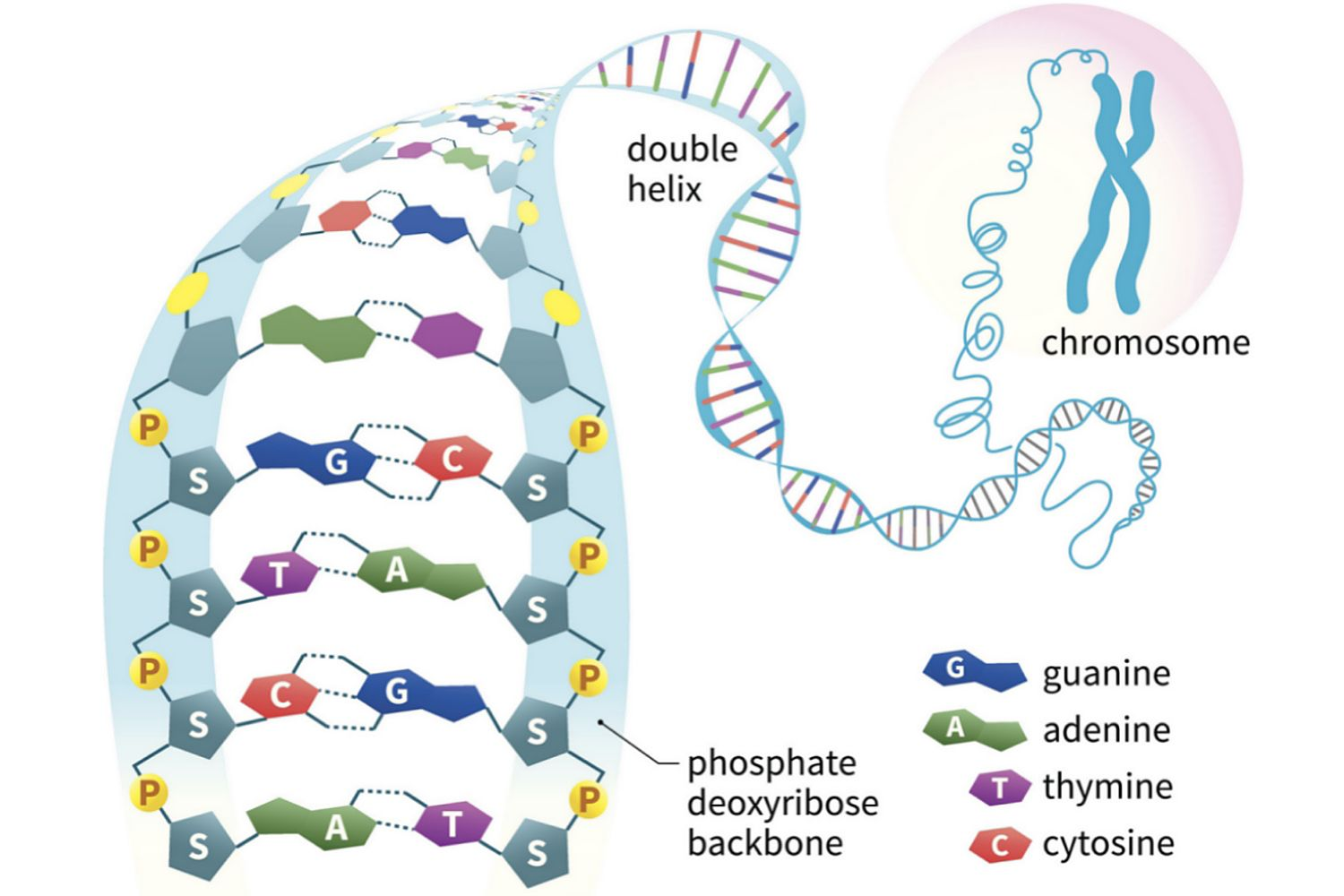 nucleic acids - function, examples, and monomers