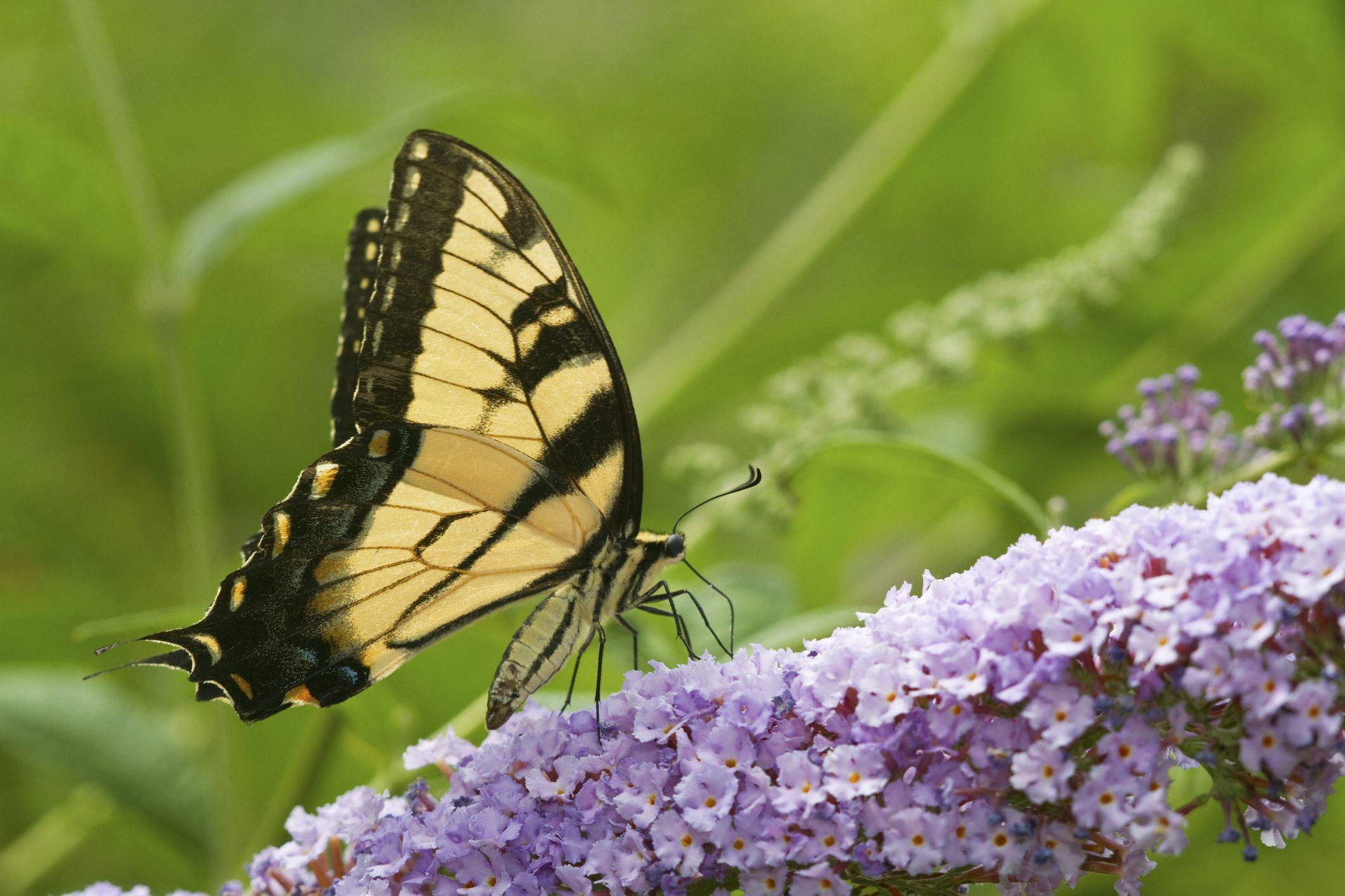 Mengapa Gardeners Cinta Kupu Kupu Bush Dan Ahli Ekologi Benci Ini