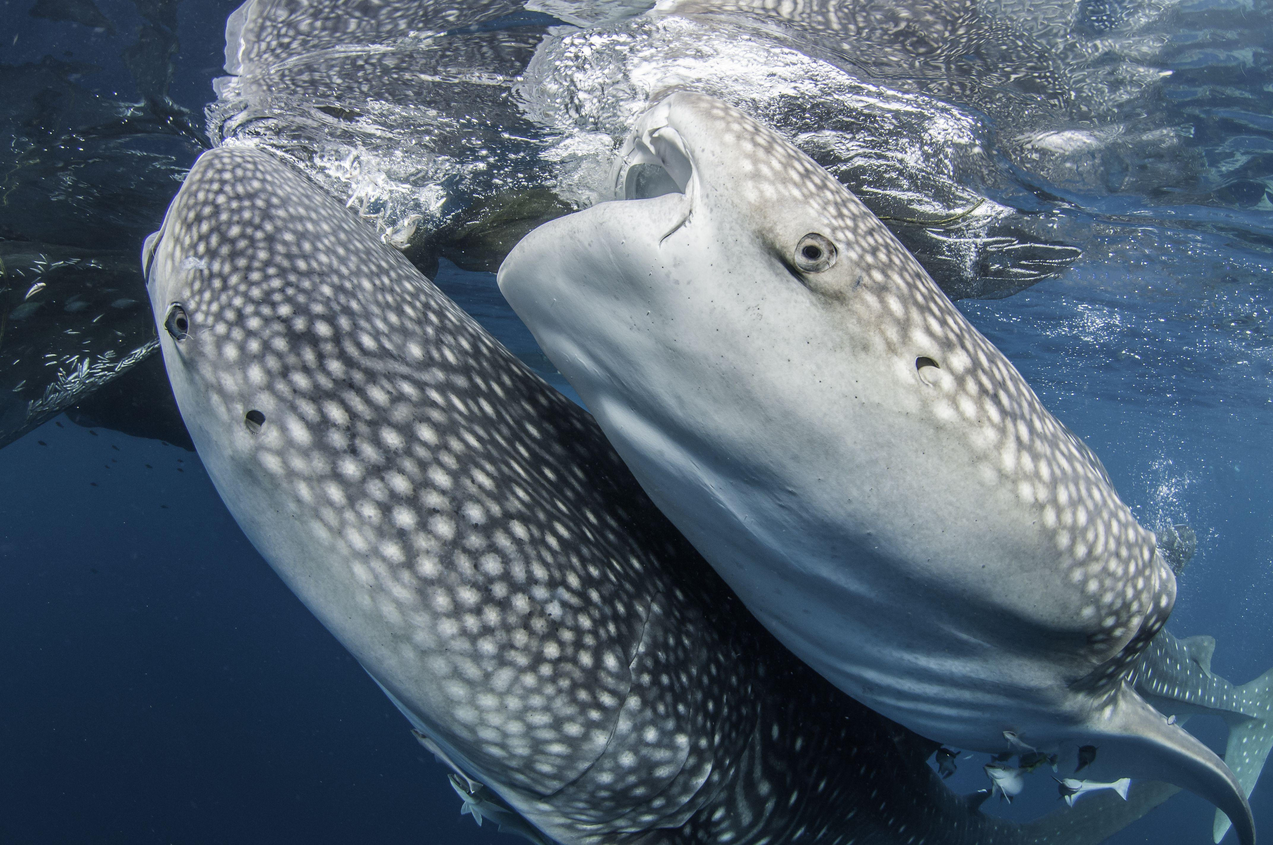 Two feeding whale sharks