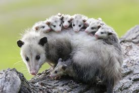 Female opossum (Didelphis virginiana) carrying young