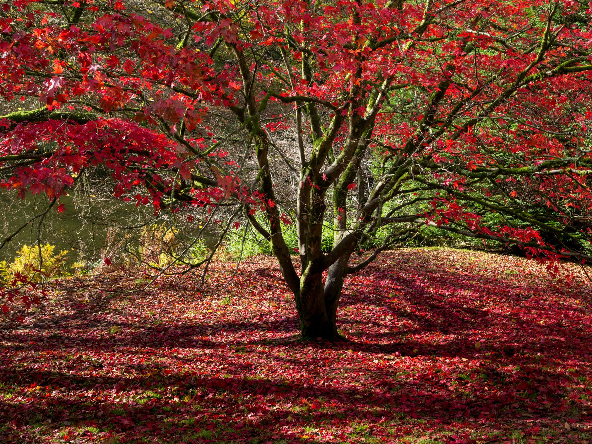 Red Maple Trees And Where To Plant