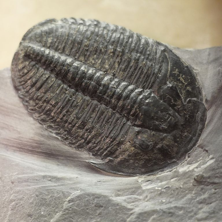 Elrathia kingii species of Trilobite