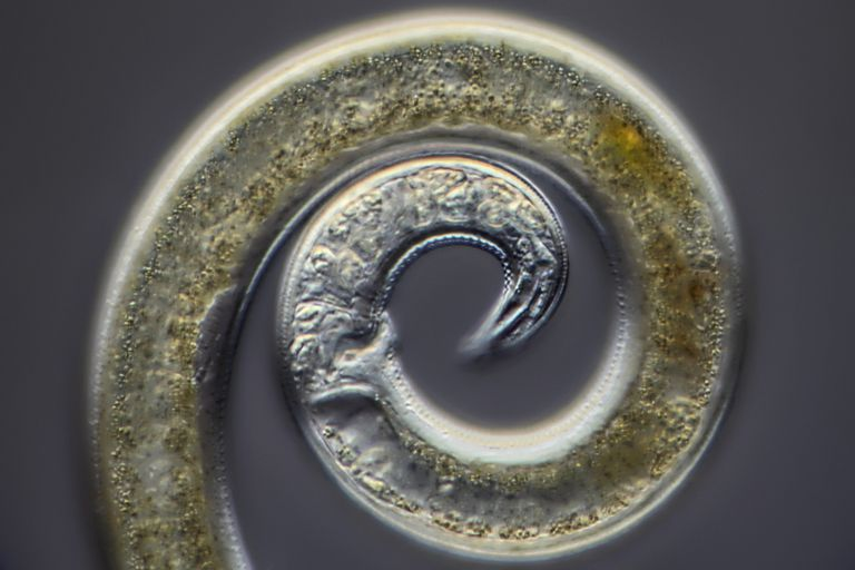 Nematoda Free Living And Parasitic Roundworms