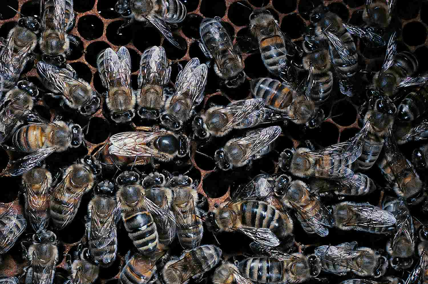 Apis mellifera (honey bee) - queen with attendants on a comb