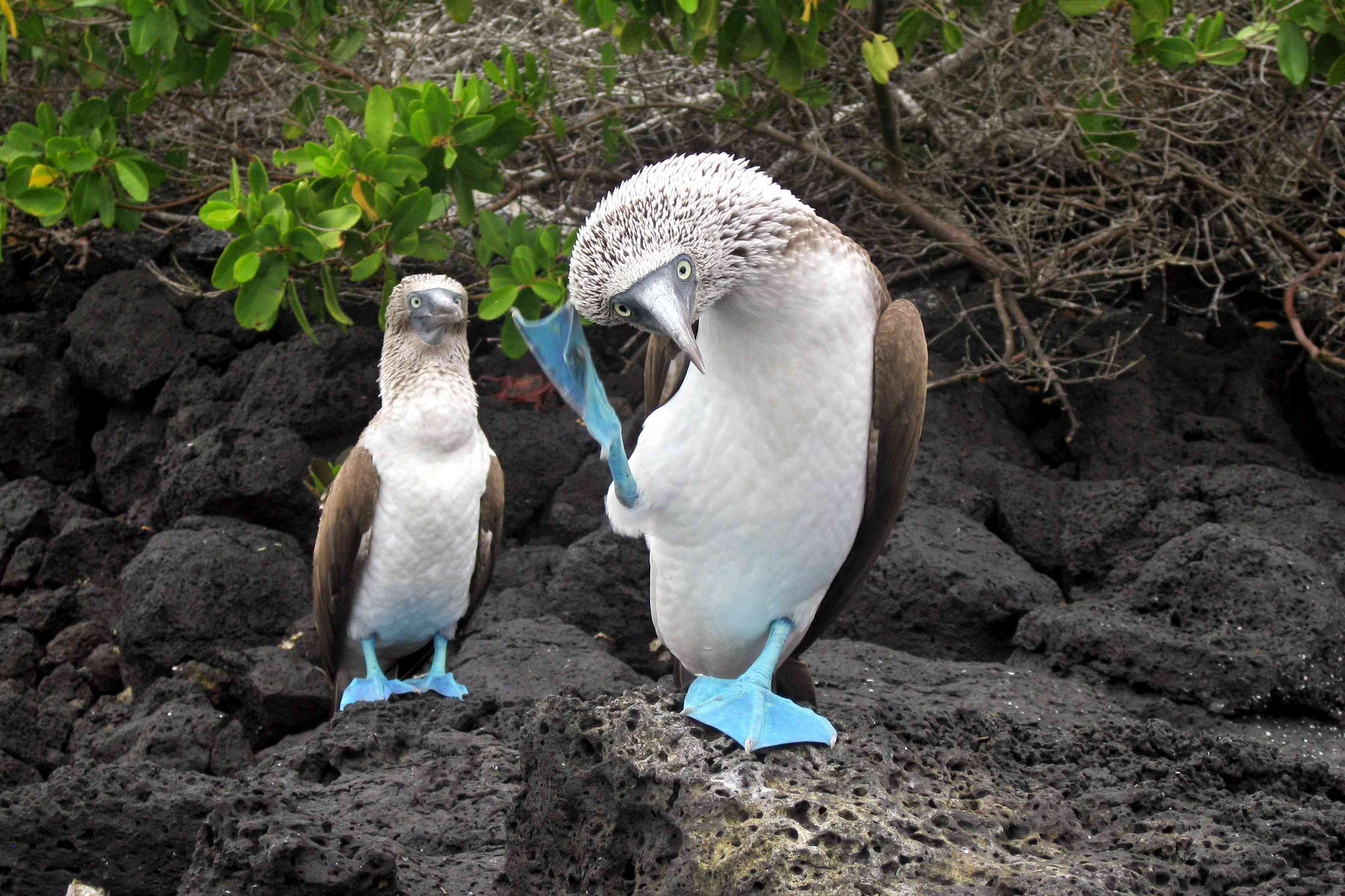 A blue-footed booby mating ritual, the booby dance, shows off its feets