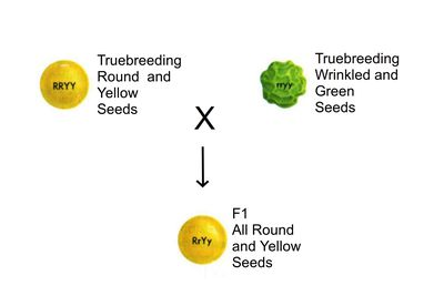 multiple alleles examples in plants