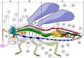 Internal anatomy of an insect.