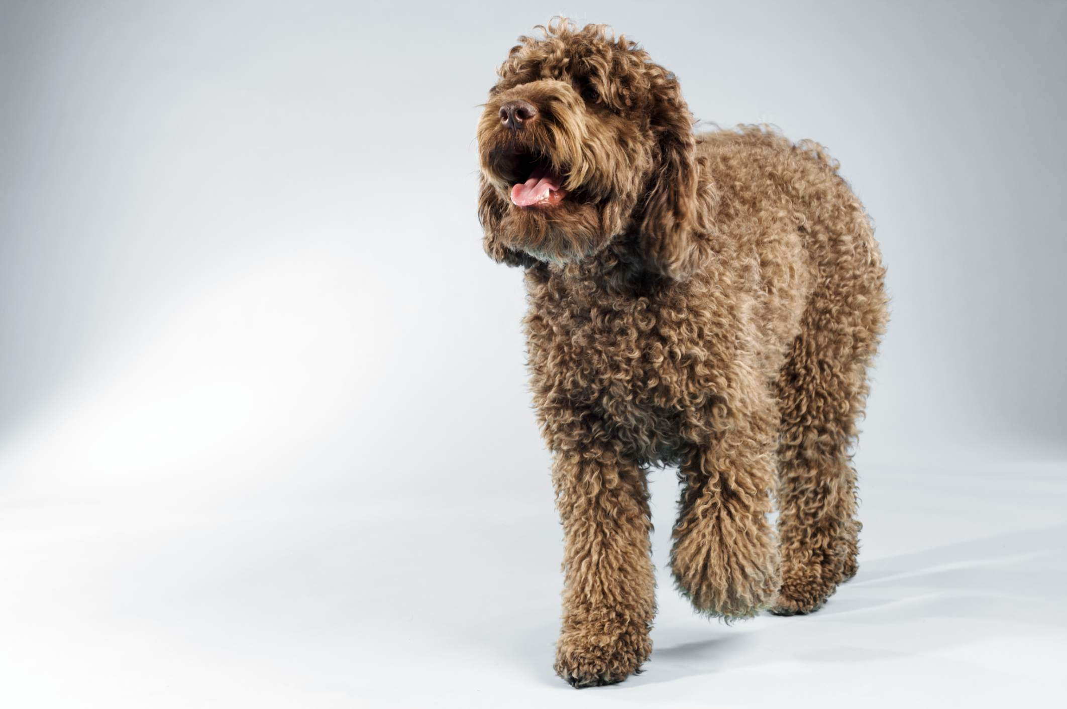 Labradoodle breed is a product of artificial selection