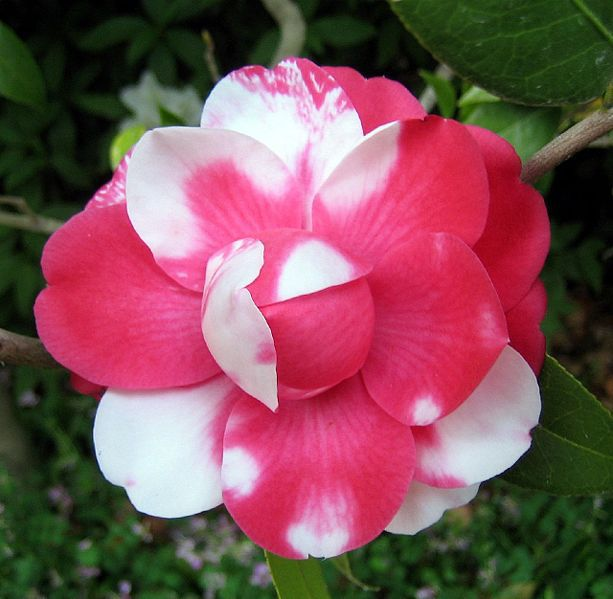 The white and pink petals shows codominance
