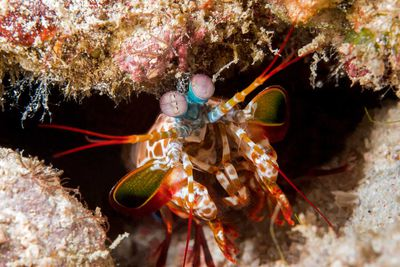 Crustacean Pictures Mantis Shrimp Ghost Crabs Coconut And More