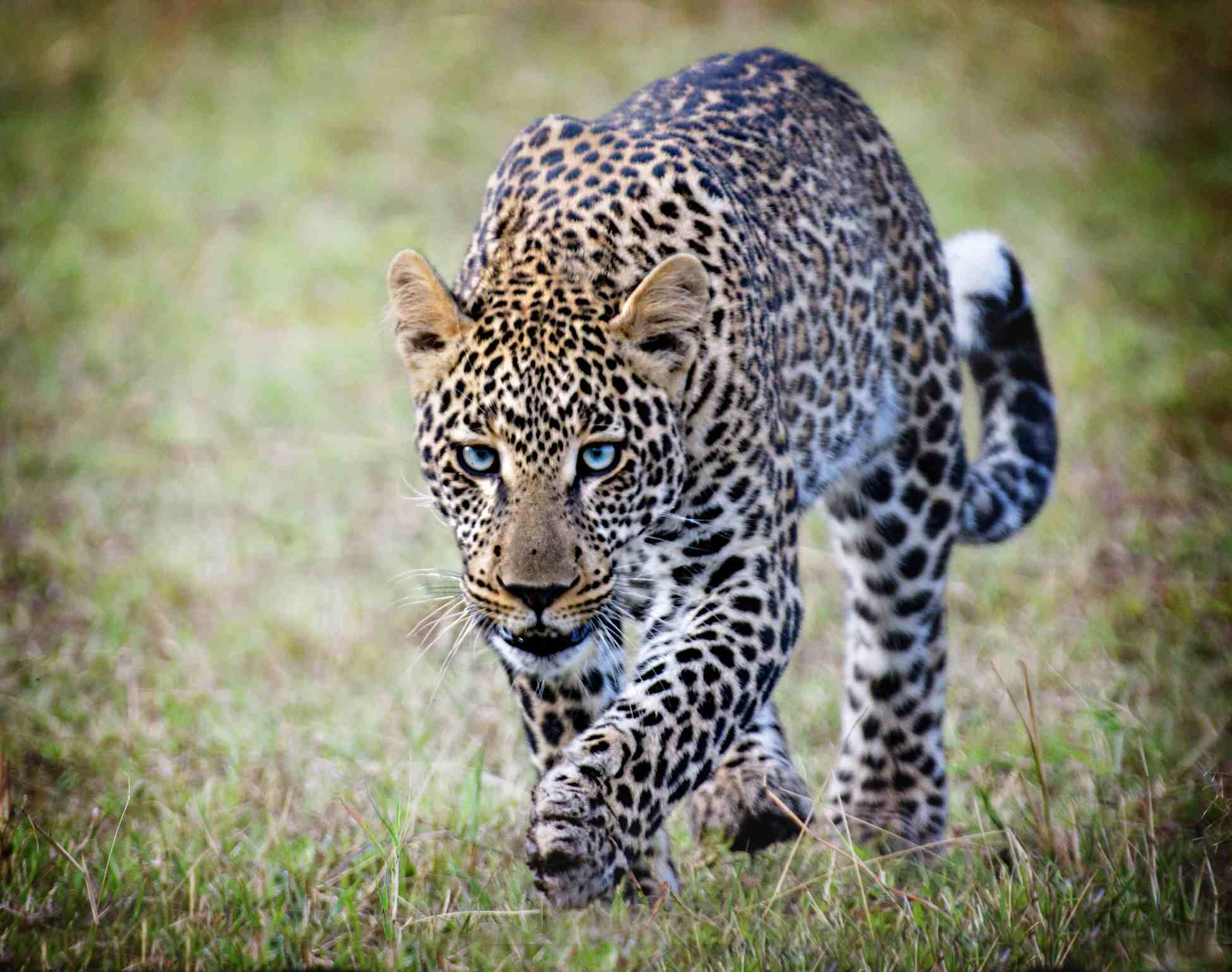 Spotted leopard walking in the grass.