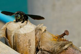 A carpenter bee examines a crack in a wooden post