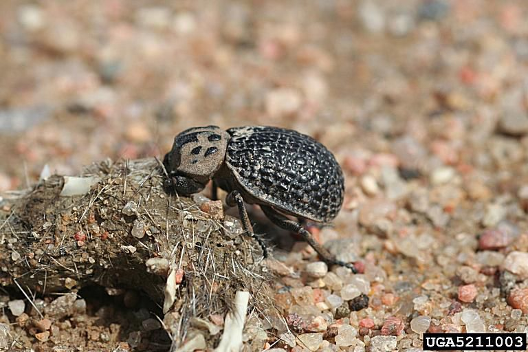 Hide beetle.