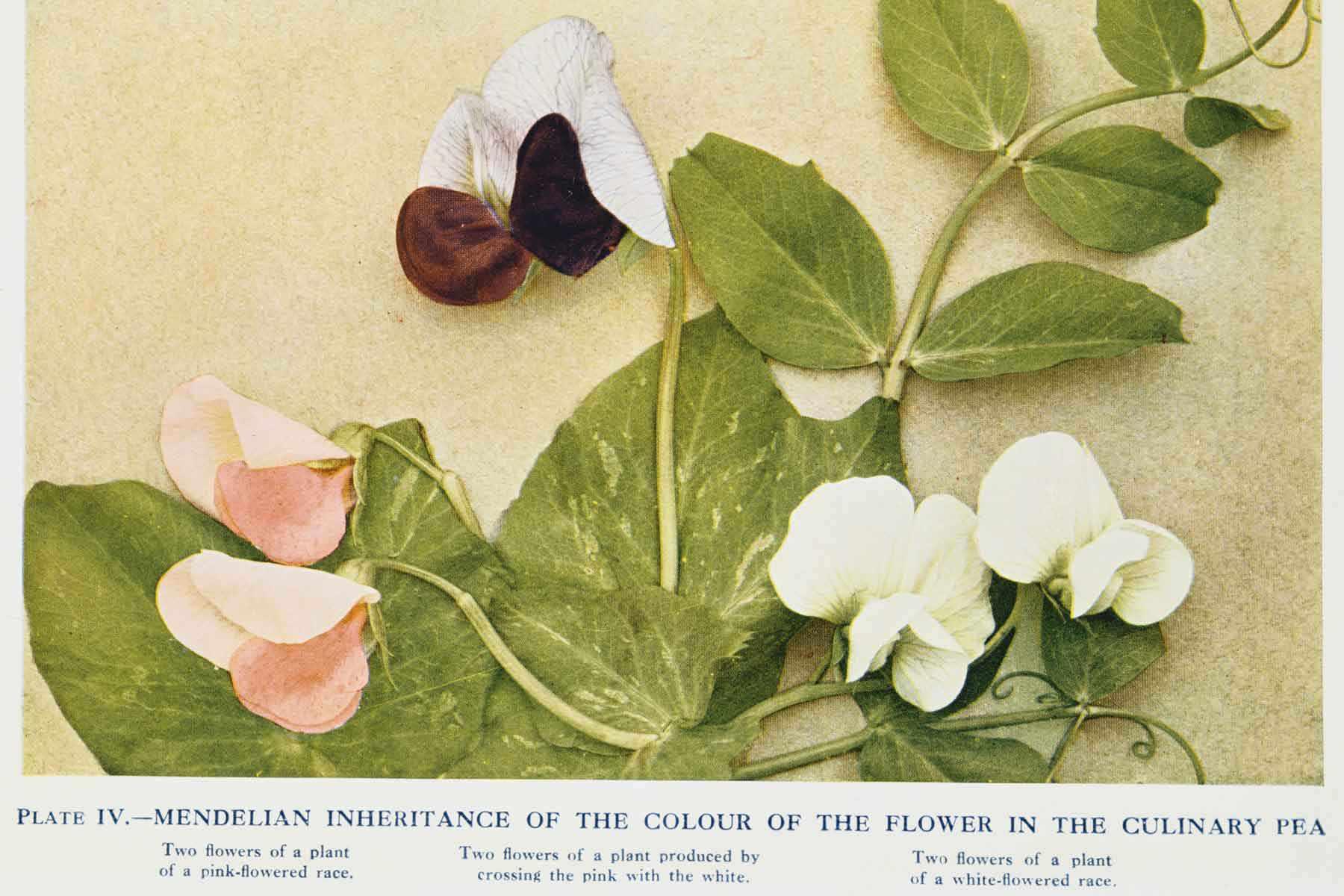 Gregor Mendel's Pea Plants.