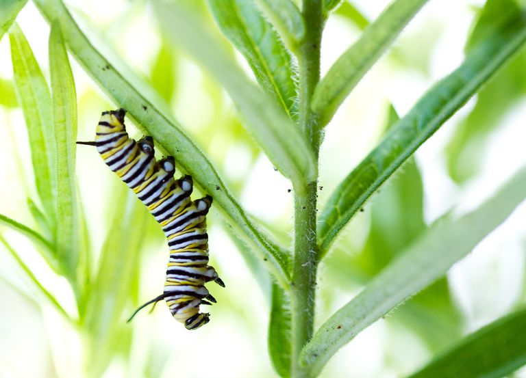 caterpillar eating milkweed