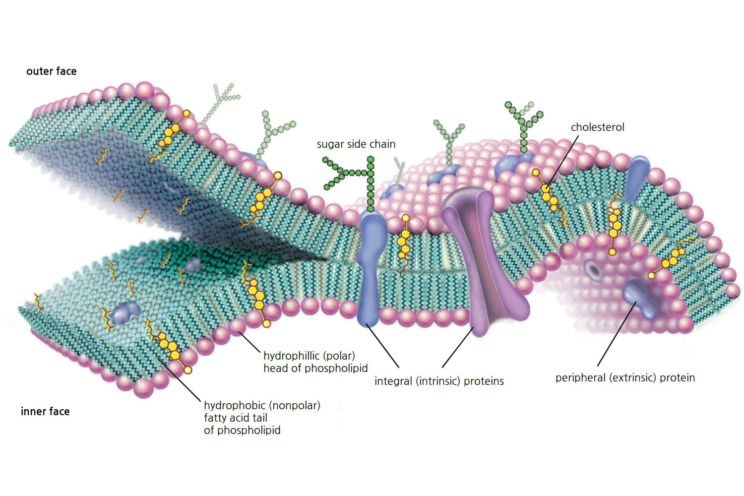 Cell Membrane Function And Structure Simple Diagram For Kids Plant Cells