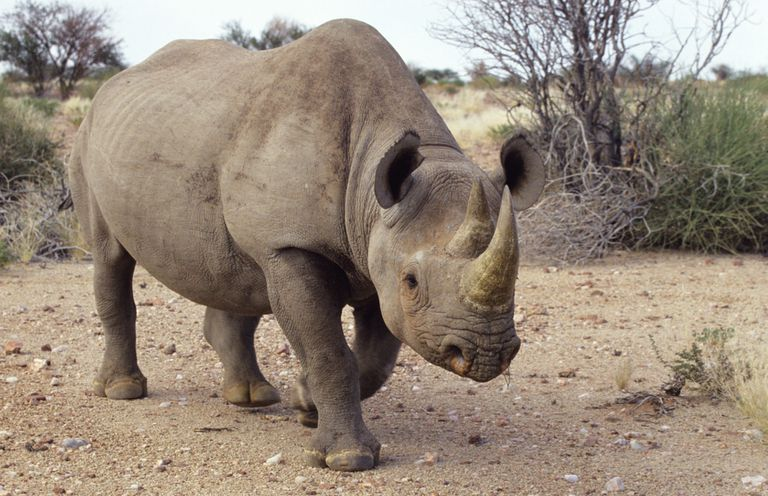 Rhinoceros Totem