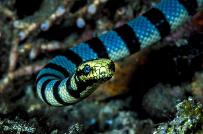 Sea snake pictures