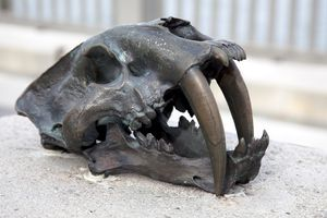 Bronzed skull of a saber-tooth cat