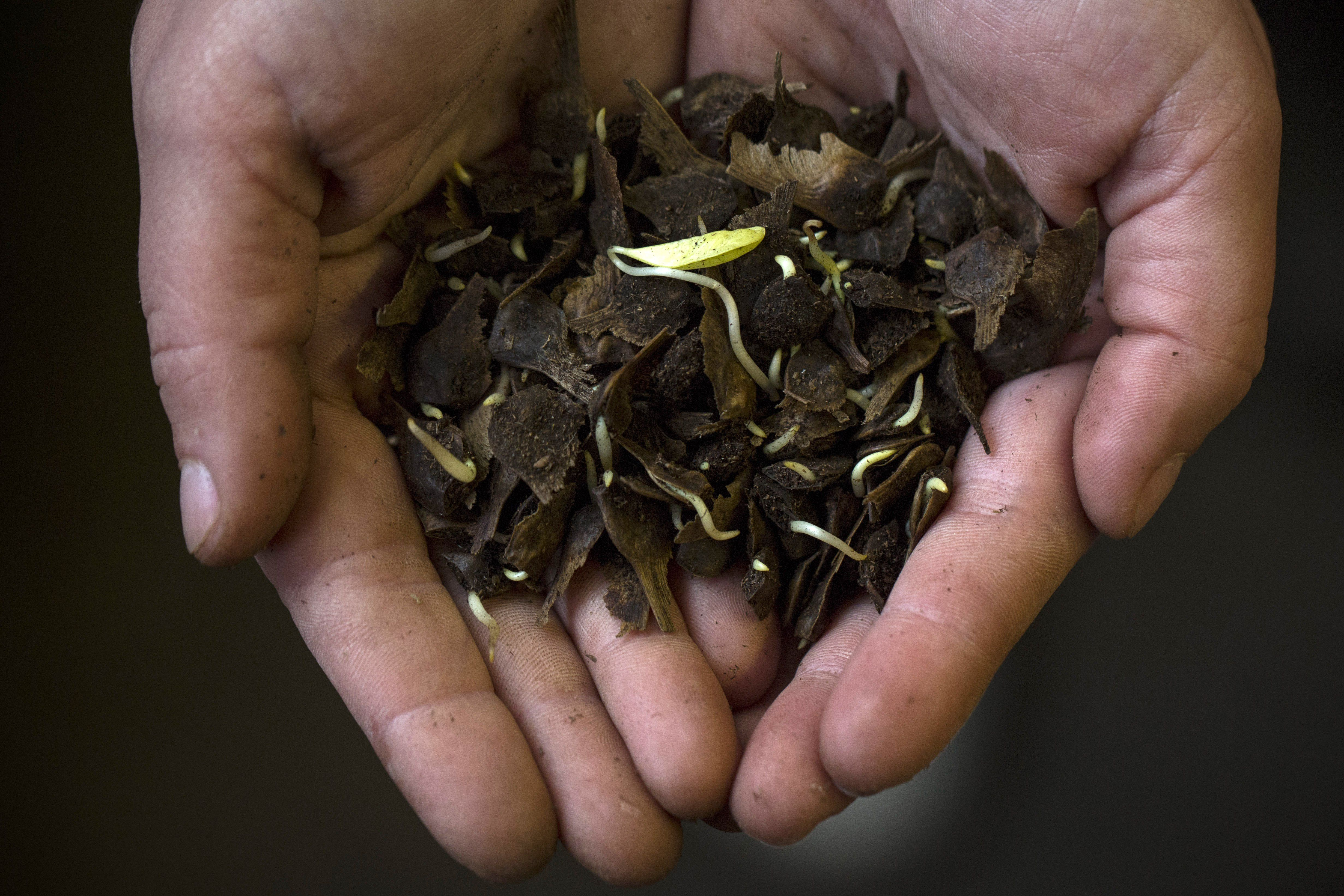 Germinating tree seeds in someone's hands