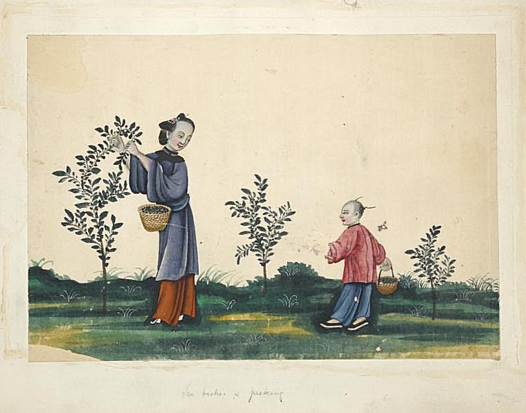 Image ID: 1561965 Tea bushes & picking.