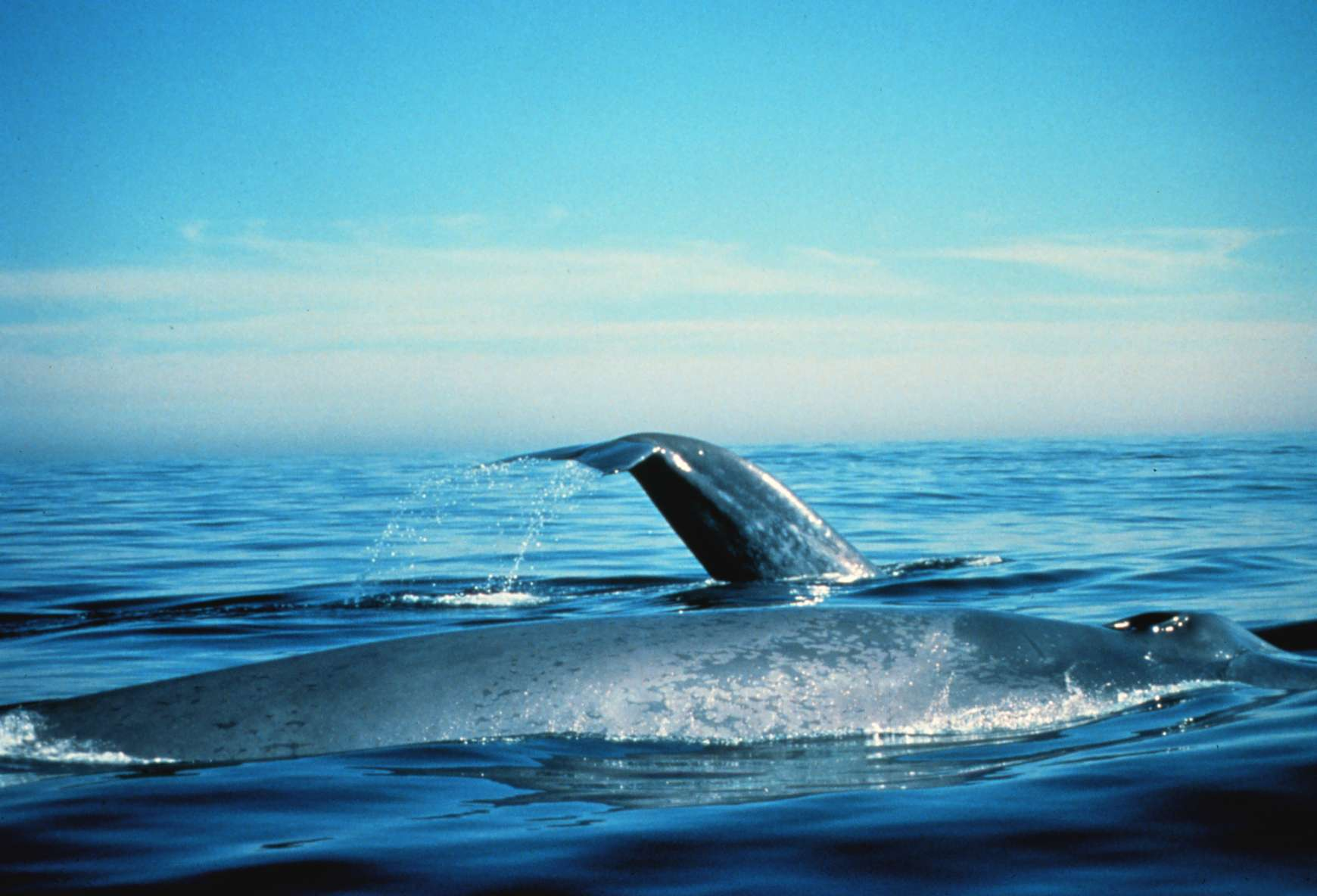 Blue whales on the surface. California, Gulf of the Farallones