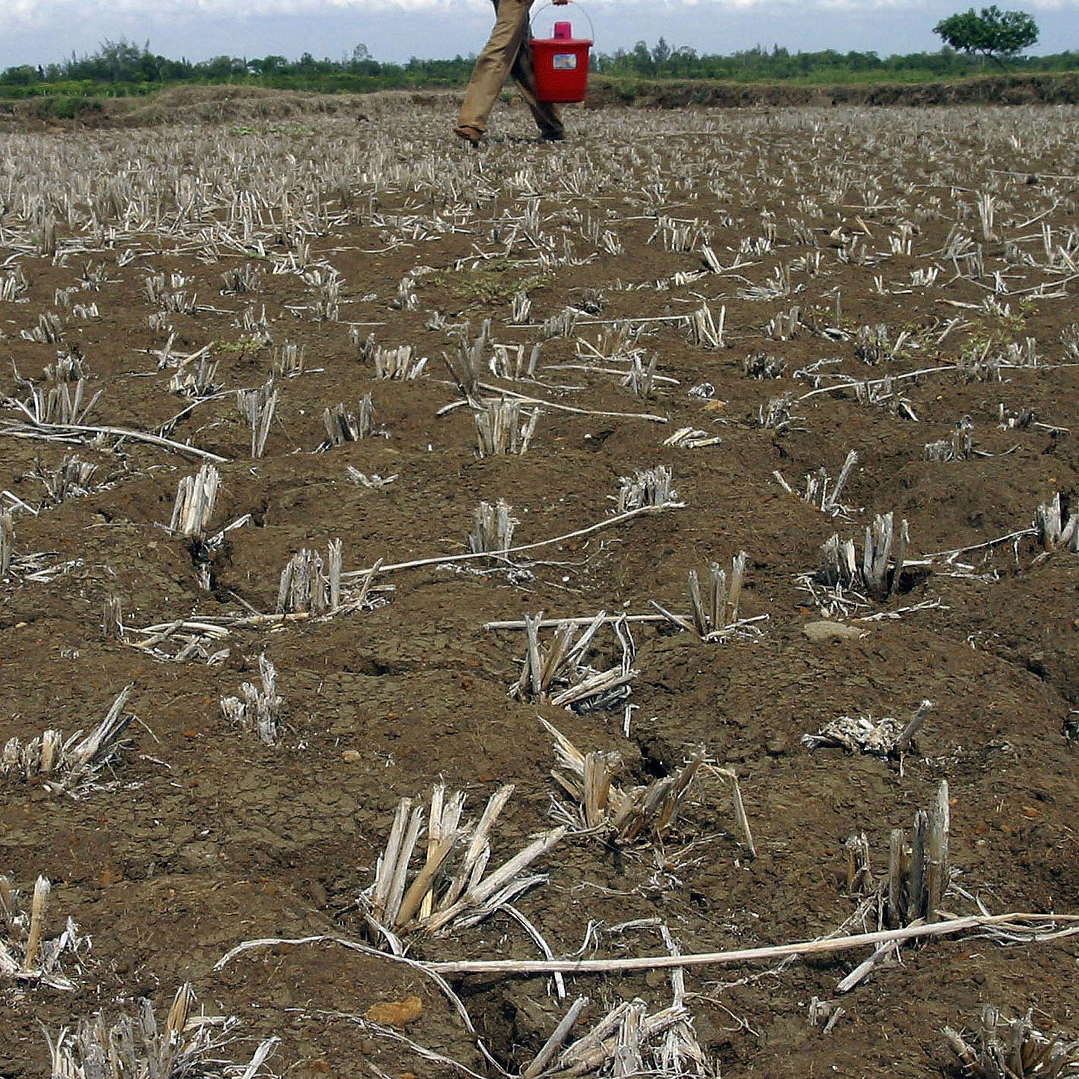 Man walking through dry crop field.