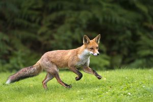 What does the fox say (in German?)