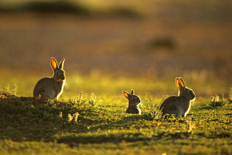 History of Feral Rabbits in Australia