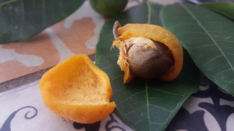 Brosimum alicastrum, ripe fruit opened showing the nut