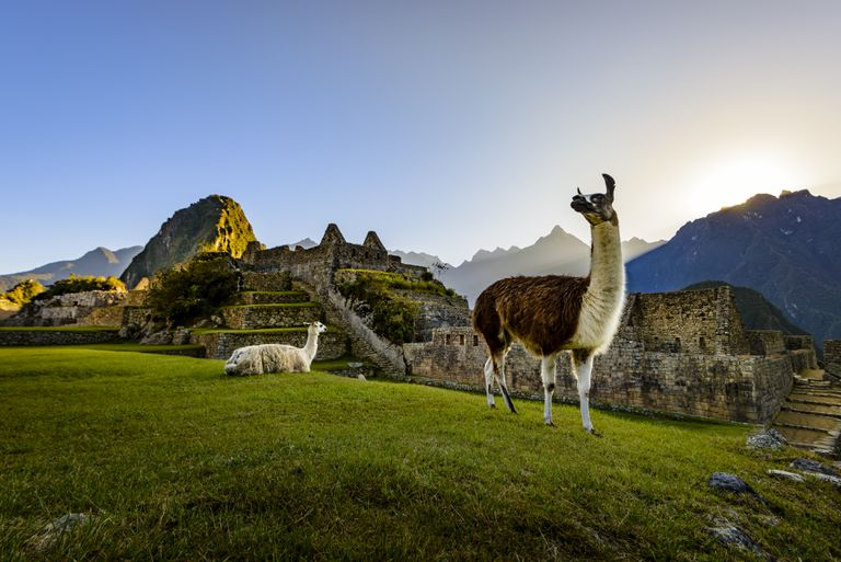 Llamas at first light at Machu Picchu, Peru, South America