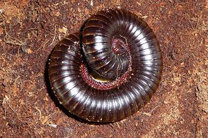 African giant millipede