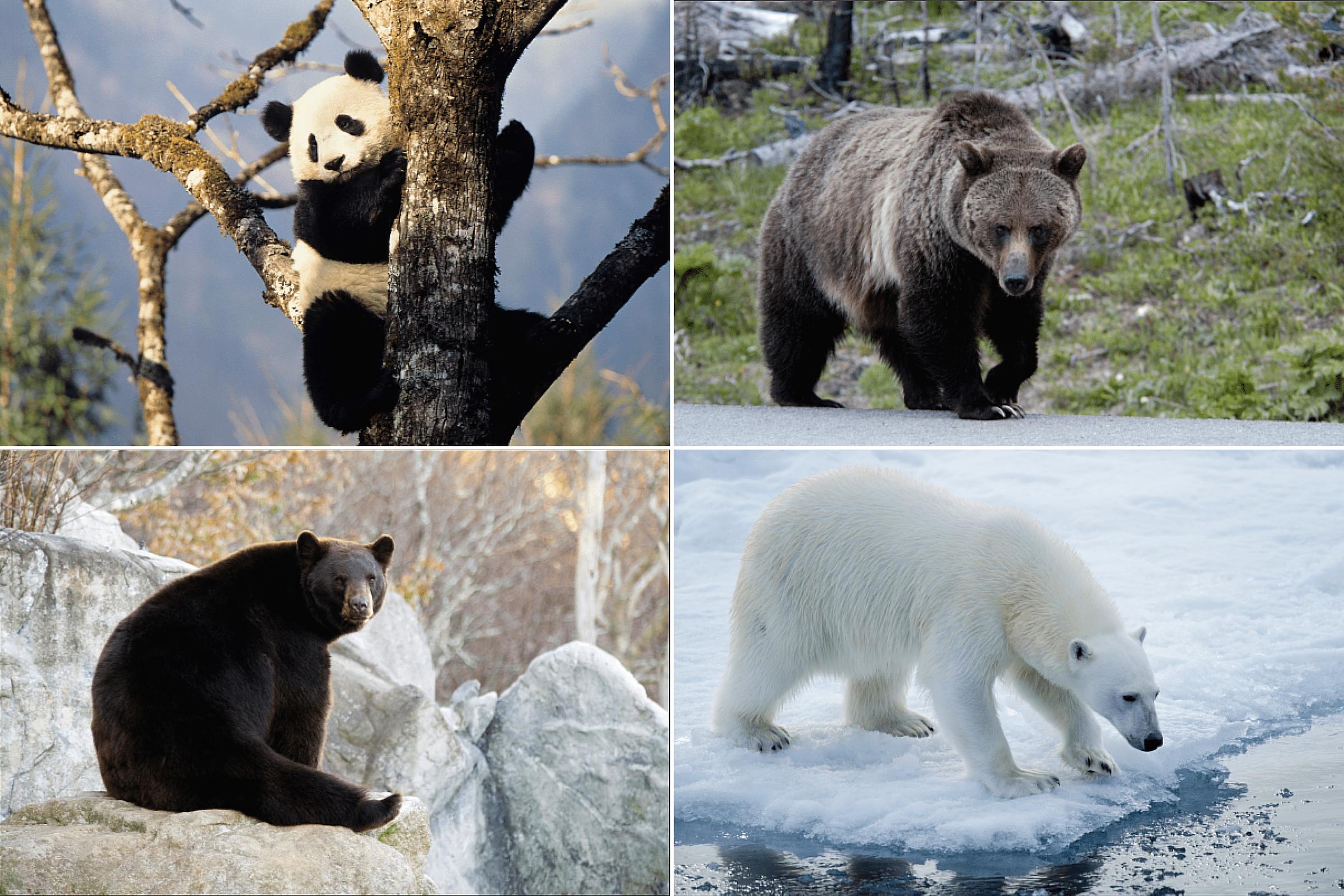 Bear Totem Photos And Lessons Bears Teach
