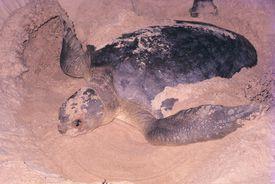 Flatback turtle, Natator depressus, digging