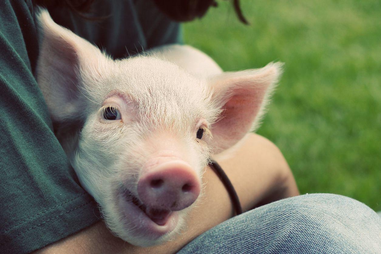 Domestic piglet