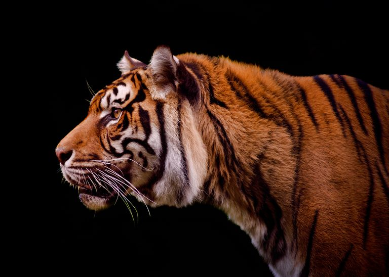 portrait of tiger on black background