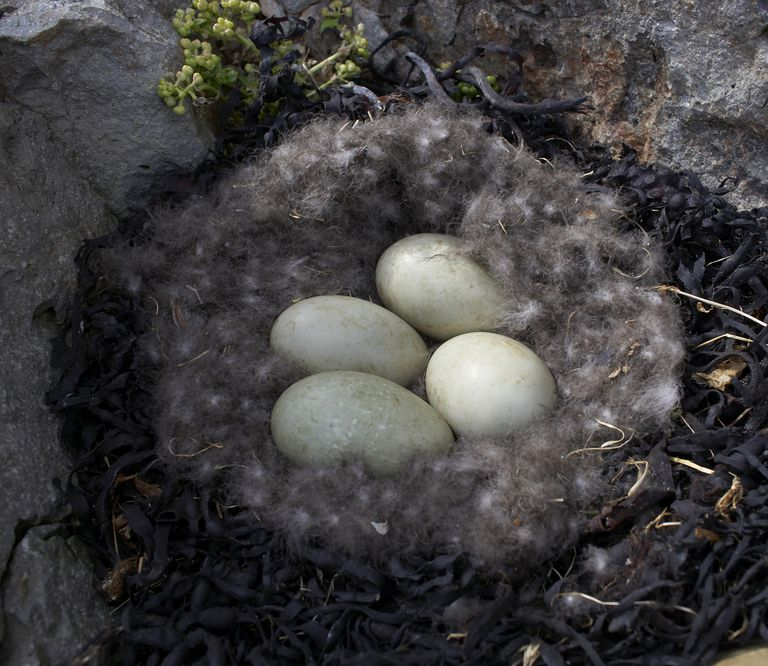 Common eider nest