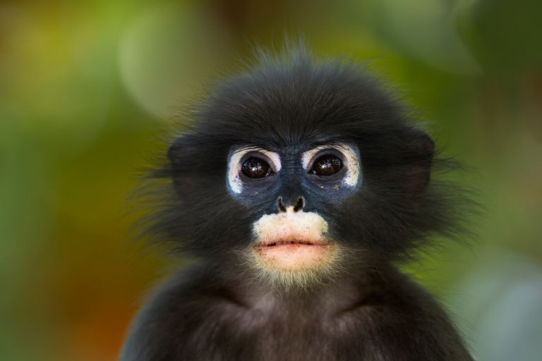 Young dusky leaf monkey