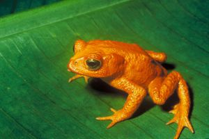 The Golden Toad
